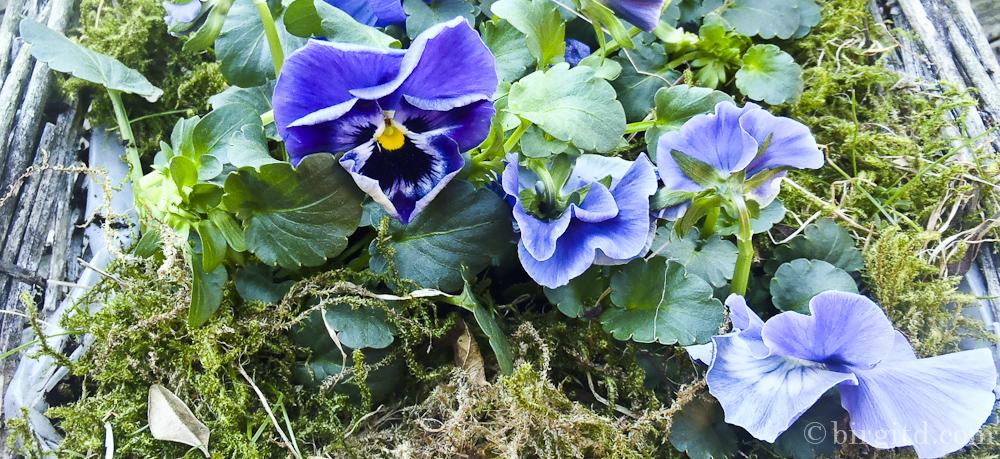 Mein Garten hat heute blau gemacht . . .