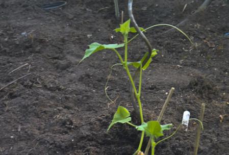 Junge Gurkenpflanzen im Gewächshaus