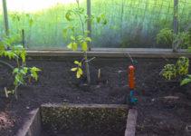 Tomatensetzlinge im Gewächshaus