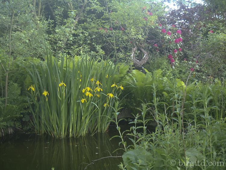 Die Sumpf-Schwertlilien blühen