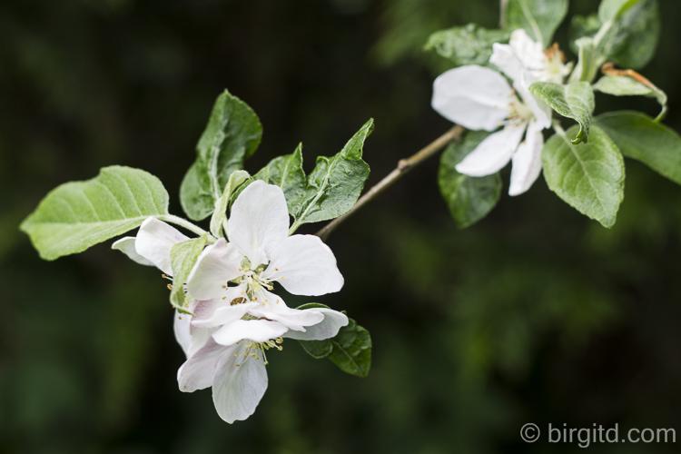 Gartenspaziergang: Apfelblüte