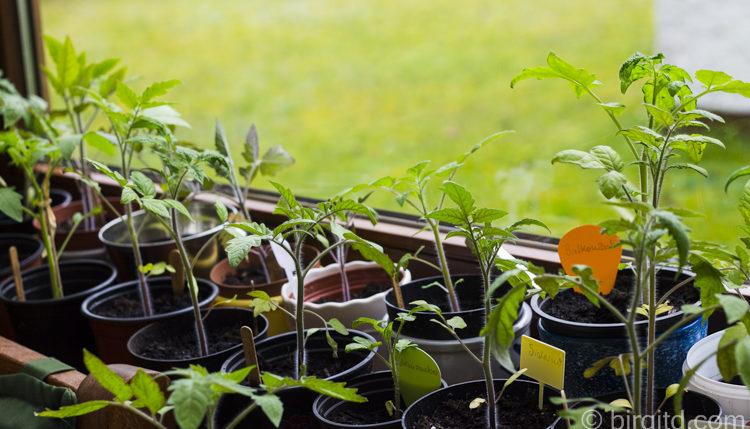 tomaten jungpflanzen auf der fensterbank birgit dbirgit d. Black Bedroom Furniture Sets. Home Design Ideas