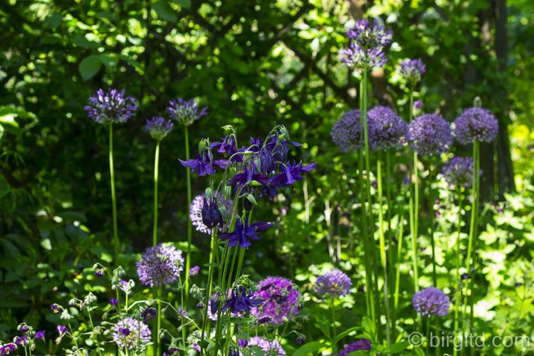 Purple Sensation und blaue Akeleien