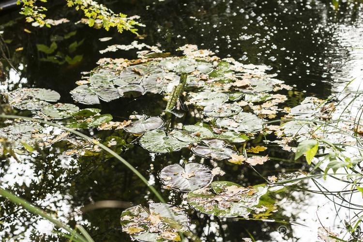 Jetzt schwimmen nicht nur Seerosenblätter auf dem Teich . . .
