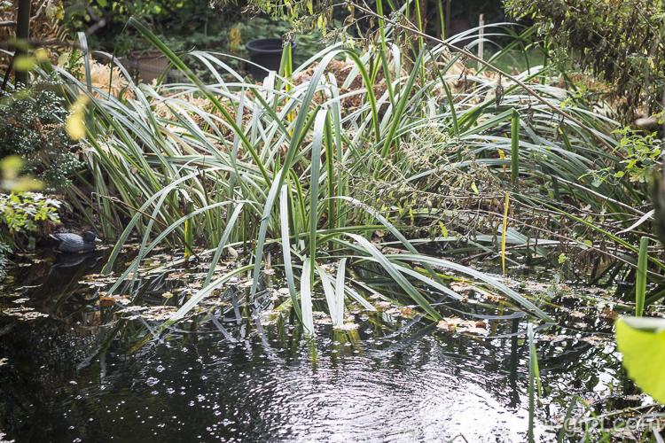 Sumpfschwertlilie als Riesenkaskade