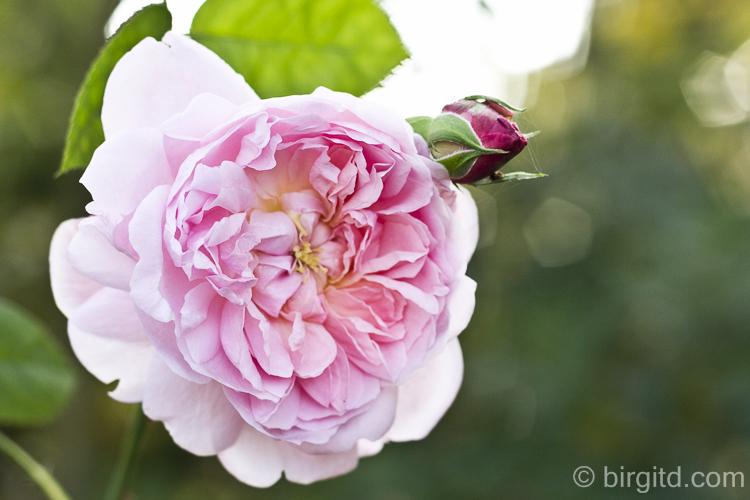 Die letzten blühenden Rosen
