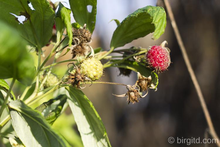 Herbst-Himbeeren