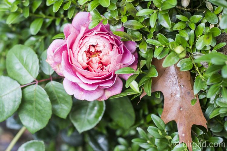 Letzte Rosen im Garten