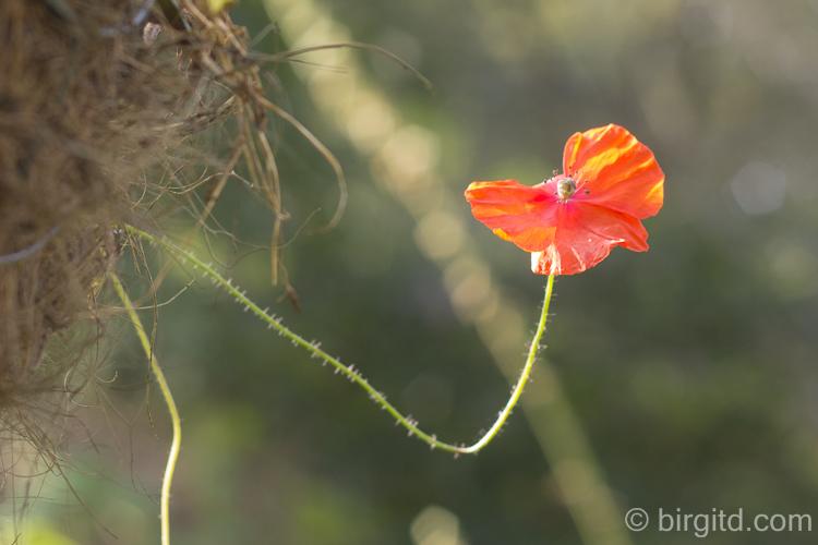 Eine Mohnblume hat sich scheinbar verirrt und rankt nun vorwitzig aus dem Hanging Basket.