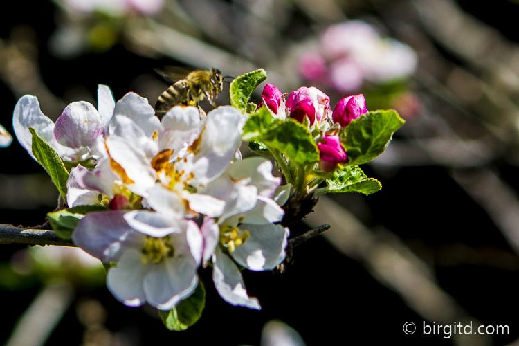 Honigbiene auf Apfelblüten